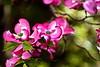 Pink dogwood #2<br /> Yakima, Washington<br /> <br /> P188