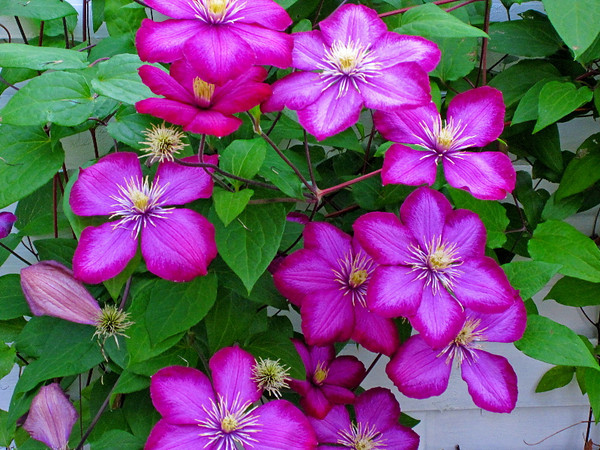 Clematis #2<br /> <br /> P294