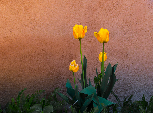 Tulips in a Crannied Wall