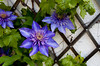 Clematis #1<br /> <br /> P293
