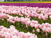 Tulipfest #6<br /> Skagit County, Washington<br /> <br /> P127