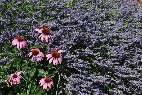 Echinacea in lavender<br /> <br /> P253