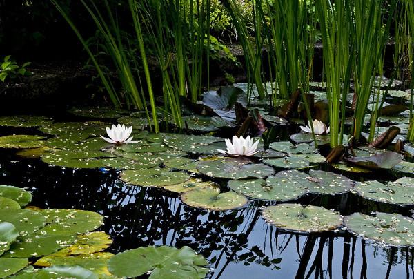 Lotus pond II<br /> <br /> P227