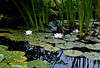 Lotus pond II<br /> <br /> P227