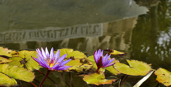 Reflections in a lily pond<br /> Tampa, Florida<br /> <br /> P265