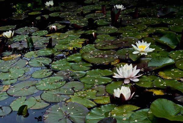 Lotus pond I<br /> <br /> P226