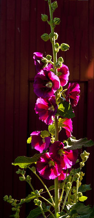 Hollyhocks #4<br /> <br /> P282