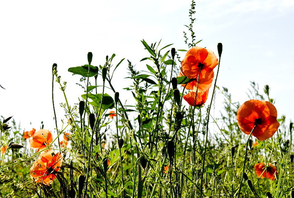 Meadow poppies<br /> <br /> P308