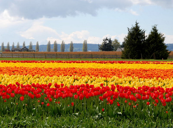 Tulipfest #5<br /> Skagit County, Washington<br /> <br /> P126