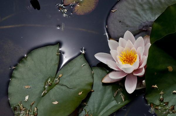 Lotus pond III<br /> <br /> P228