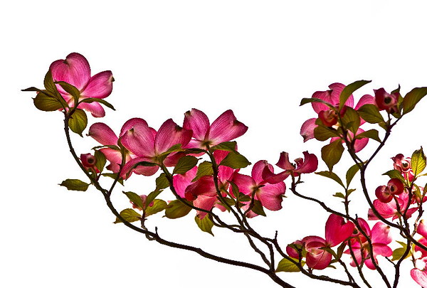 Pink dogwood #1<br /> Yakima, Washington<br /> <br /> P187
