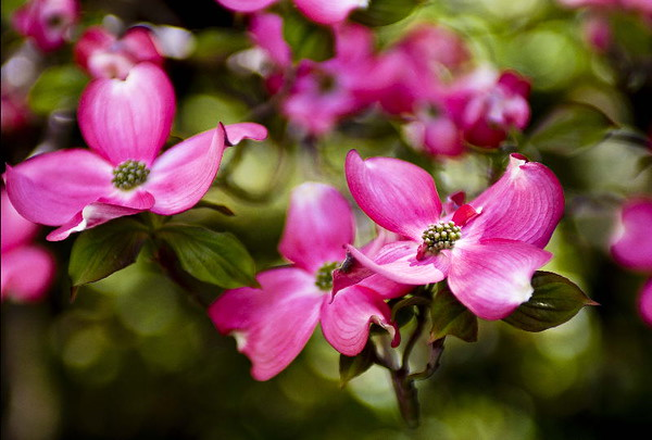 Pink dogwood #3<br /> Yakima, Washington<br /> <br /> P189