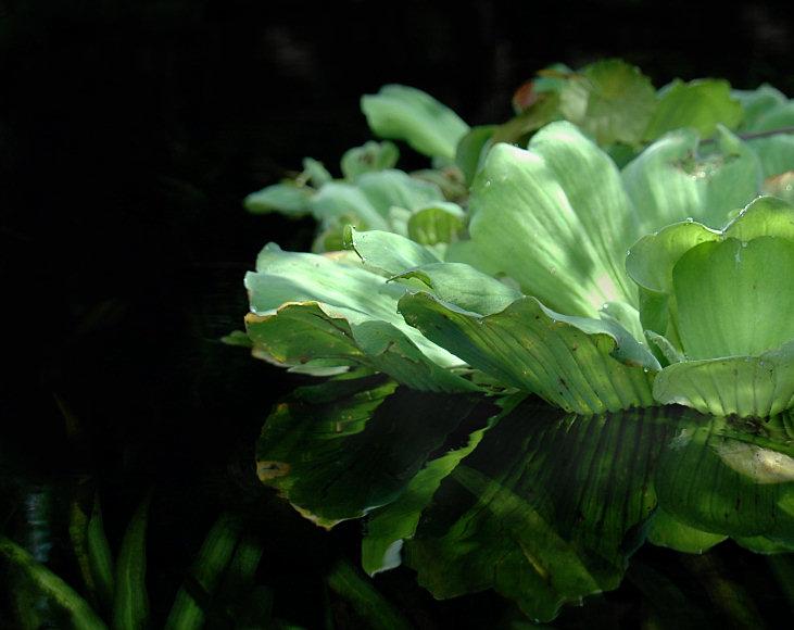 Water lettuce growing in Rock Springs run near Orlando, FL