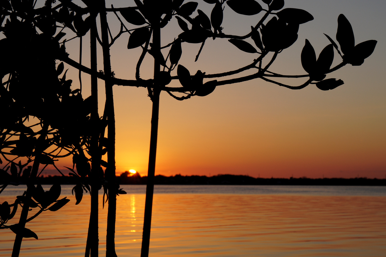 Setting sun through mangroves.