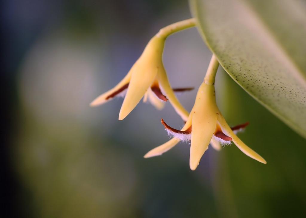 Tiny mangrove flowers.