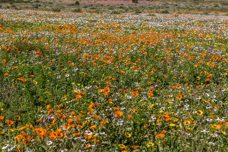 Mostly Orange Flowers on the West Coast of South Africa