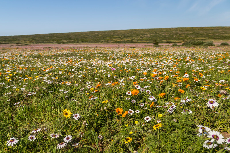 Flowers on the West Coast of South Africa Low and Wide