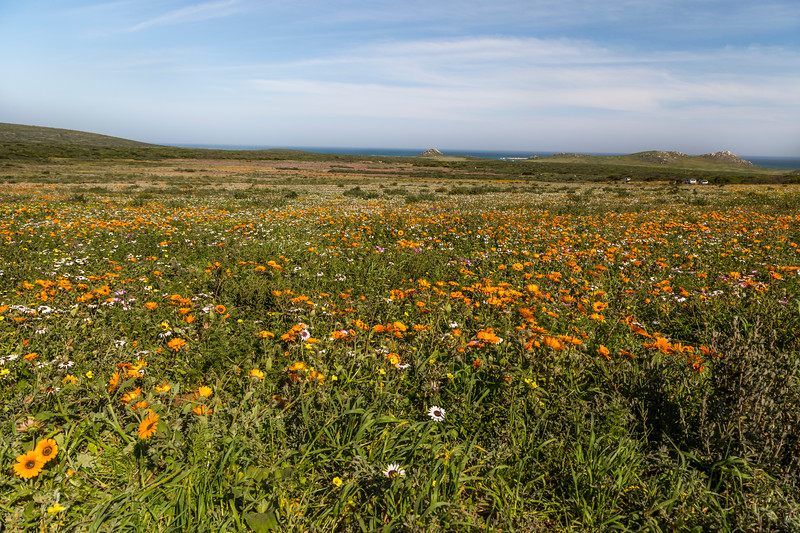 Orange and White Flowers on the West Coast of South Africa with Ocean in Background