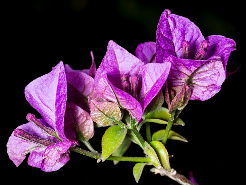 Purple Flower with Black Background