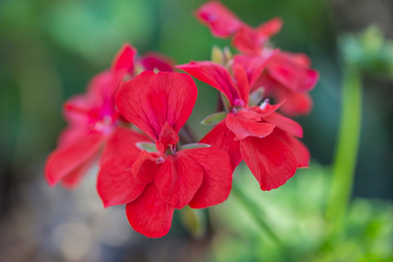 Red Flowers in the garden