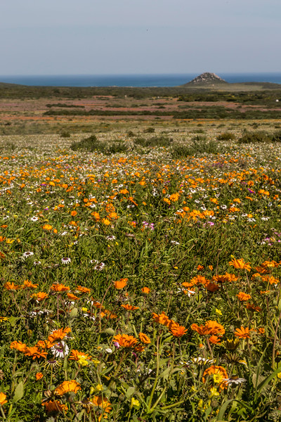 Orange and White Flowers on the West Coast of South Africa with Ocean in Background Vertical Photo