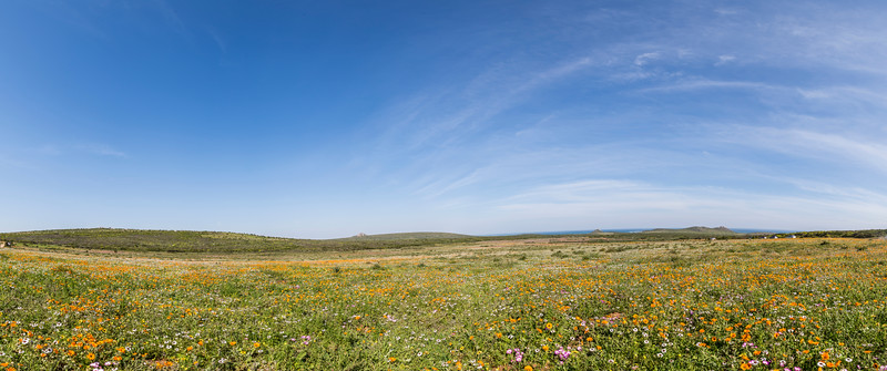 Flowers on the West Coast of South Africa Panorama with the ocean in the background