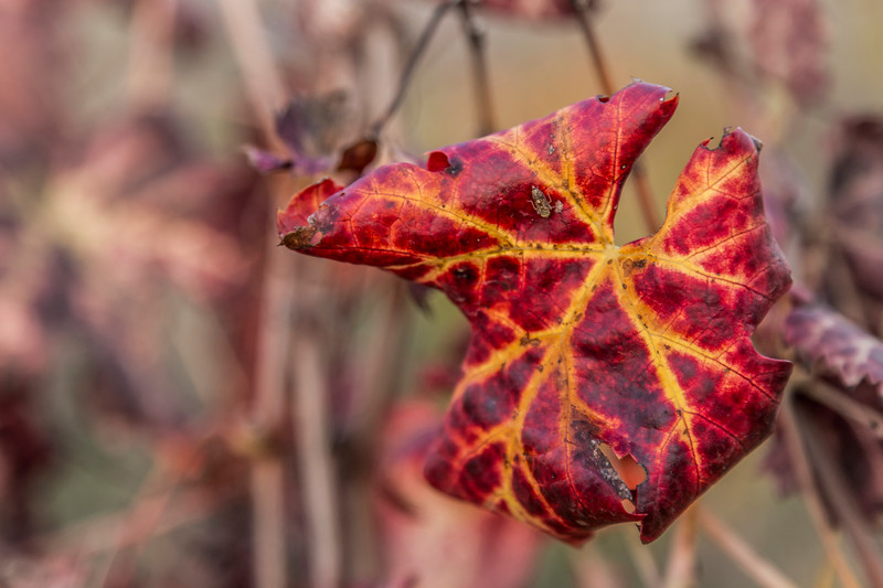 Autumn Vineyard Leaf