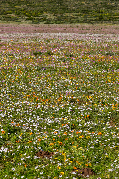 Multiple Colour Flowers on the West Coast of South Africa Vertical