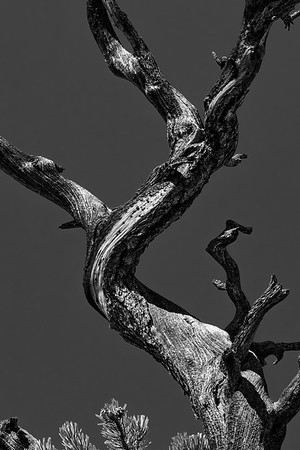 Twisted Tree in Black and White