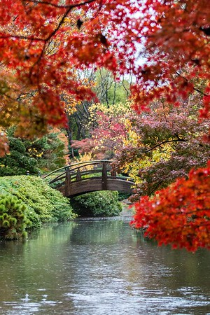 Japanese Maples 2