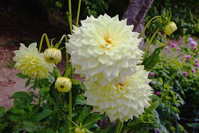 FB-BG-180804-0005 Dalia Garden