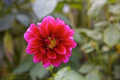 FB-BG-181111-0003 Dahlia, one of the last blossoms for the season