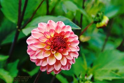 FB-BG-180804-0001 Dalia Garden