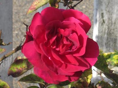 FB-130706-0009 Rose 3