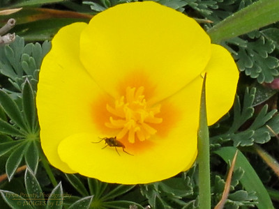 FB-130227-0004 California Poppy and Friend