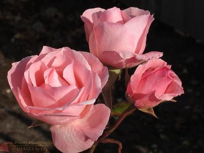 FB-130706-0006 Roses 1