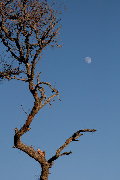 Live oaks and moon, Fort Fisher<br /> best print size - 8x12 or 12x18