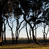 Live oaks, Fort Fisher<br /> best print size - 8x12 or 12x18