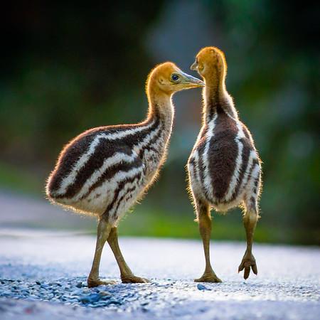 Cassowary chicks