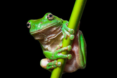 Green tree frog, Queensland, Australia