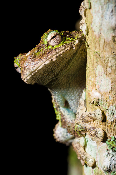 Green eyed tree frog (Litoria genimaculata)