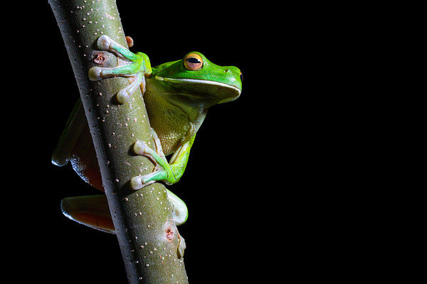 White-lipped green tree-frog