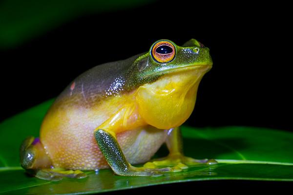 Graceful tree-frog