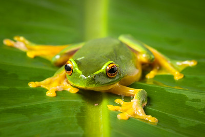 An orange-thighed tree frog (Litoria xanthomera) , Queensland, Australia