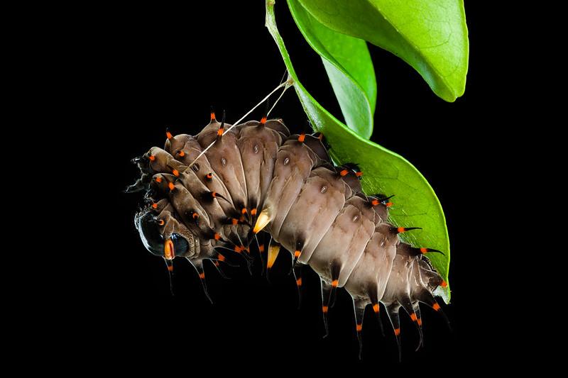 Cairns birdwing butterfly caterpillar