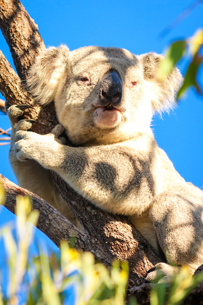 A koala on Magnetic Island, Queensland, Australia.