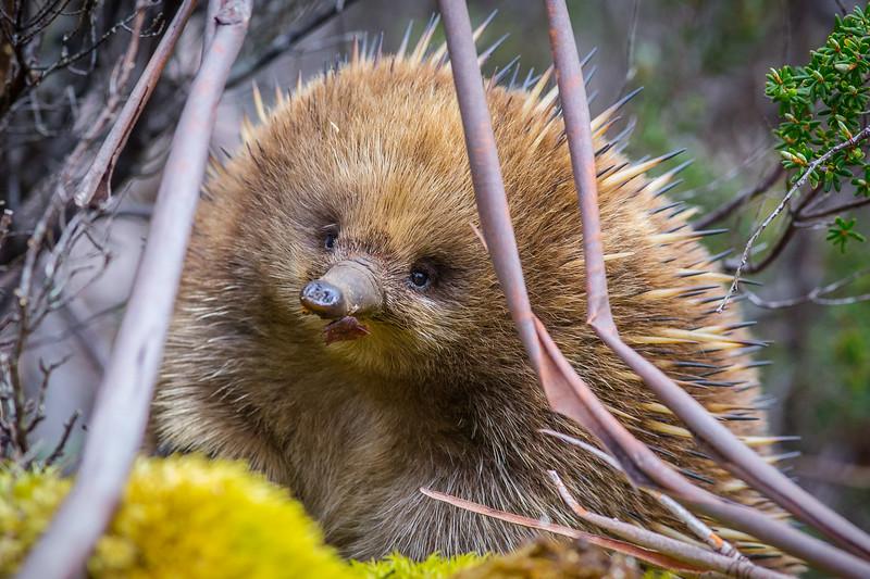 An Echida, Tasmania, Australia.