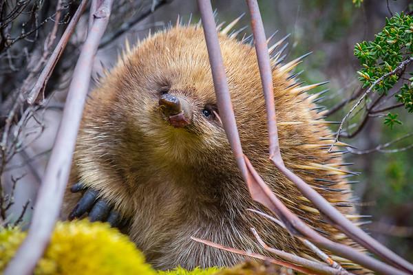 An Echidna, photographed in Tasmania, Australia.