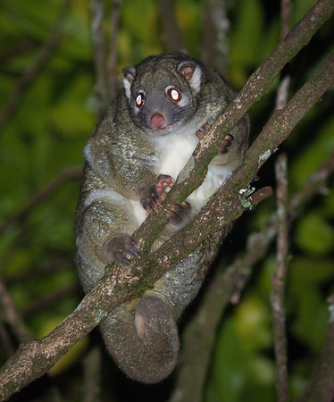 Green ringtail possum, Queensland, Australia.