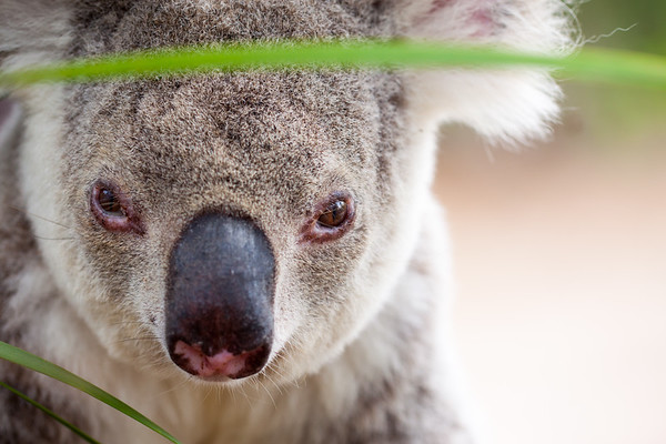 Portrait of a wild koala